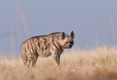 Striped hyena. Shot in the early morning light . As it is a nocturnal ;this is a rarely seen scavenger Royalty Free Stock Photo