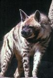 Striped Hyena. Looking for pray, close up,Hyaena hyaena Royalty Free Stock Photography