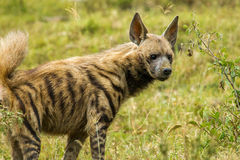 Striped Hyena. Adult Striped Hyena Standing In Grassy Field royalty free stock photos