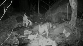 Striped Hyena dragging carcass of domestic cattle. Outskirts a village near Ratanmahal Sloth Bear Sanctuary, Gujarat, India stock video footage