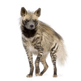 Striped Hyena - Hyaena hyaena. Striped Hyena in front of a white background Royalty Free Stock Photography