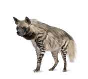 Striped Hyena - Hyaena hyaena. Striped Hyena in front of a white background Stock Photography