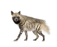 Striped Hyena - Hyaena hyaena. Striped Hyena in front of a white background Royalty Free Stock Image