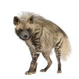 Striped Hyena - Hyaena hyaena. Striped Hyena in front of a white background Stock Image