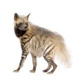 Striped Hyena - Hyaena hyaena Royalty Free Stock Photos