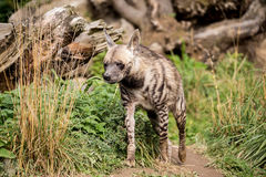 Striped hyena (Hyaena hyaena) Stock Images