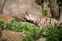 Striped hyena (Hyaena hyaena) Stock Photos