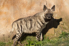 Striped hyena (Hyaena hyaena) Royalty Free Stock Images