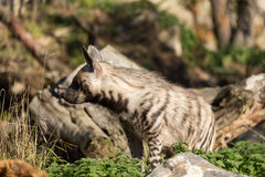 Striped hyena (Hyaena hyaena) Stock Photo