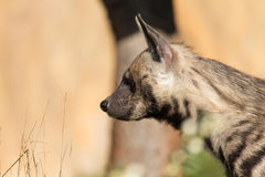 Striped hyena (Hyaena hyaena) Stock Photography
