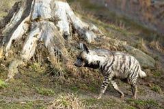 Striped hyena (Hyaena hyaena) Stock Photo