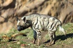 Striped hyena (Hyaena hyaena) Royalty Free Stock Photo