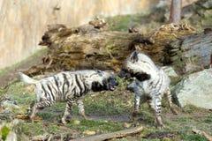 Striped hyena (Hyaena hyaena) Royalty Free Stock Image