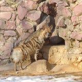 Striped hyena (Hyaena hyaena) near entrance to cave Royalty Free Stock Photo