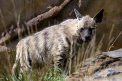 Striped hyena Hyaena Hyaena, observing surroundings. Royalty Free Stock Photos