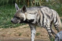 Striped hyena Hyaena Hyaena, observing surroundings. Striped hyena wild wildlife africa african carnivore brown animal view standing south stain side creature Royalty Free Stock Photo