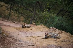 Striped hyena Hyaena hyaena pair closeup resting in a cool place and shade with green background. At jhalana forest reserve, Jaipur stock images