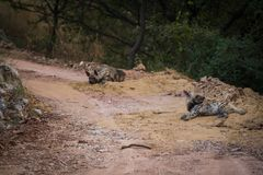 Striped hyena Hyaena hyaena pair closeup resting in a cool place and shade with green background royalty free stock image