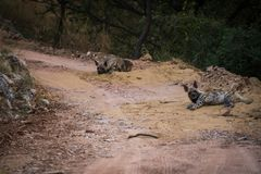 Striped hyena Hyaena hyaena pair closeup resting in a cool place and shade with green background stock photos