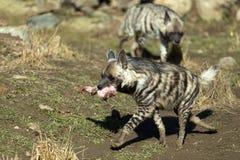 Striped hyena (Hyaena hyaena) Stock Photos
