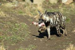 Striped hyena (Hyaena hyaena) Royalty Free Stock Images