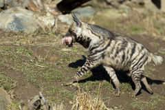 Striped hyena (Hyaena hyaena) Royalty Free Stock Photography