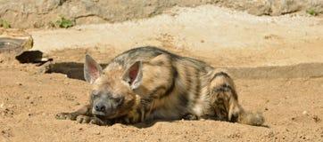Striped hyena Hyaena hyaena is sleeping Stock Photo