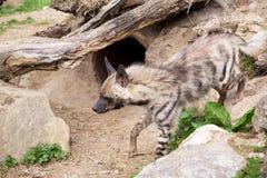 Striped hyena (Hyaena hyaena) Stock Image