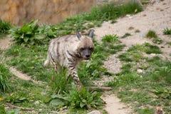 Striped hyena (Hyaena hyaena) Stock Photography
