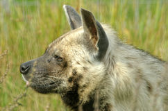 Striped hyena Stock Photography