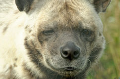 Striped hyena Stock Images