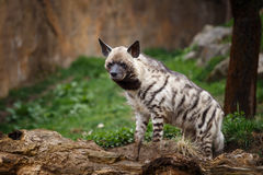 Striped hyena. Hyaena hyaena sultana royalty free stock photos