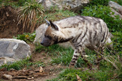 Striped hyena Stock Photography
