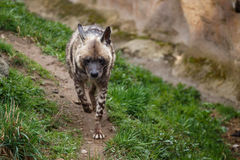 Striped hyena Hyaena hyaena sultana Royalty Free Stock Images