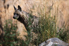 Striped hyena (Hyaena hyaena). Royalty Free Stock Images