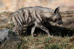 Striped hyena (Hyaena hyaena). Stock Image