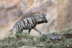 Striped hyena (Hyaena hyaena). Stock Photography