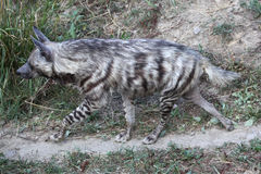 Striped hyena (Hyaena hyaena). Stock Photos