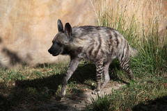 Striped hyena (Hyaena hyaena). Royalty Free Stock Photos