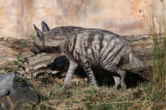 Striped hyena (Hyaena hyaena). Stock Photo