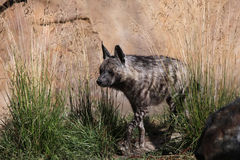 Striped hyena (Hyaena hyaena). Royalty Free Stock Photo