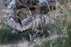 Striped hyena (Hyaena hyaena). Stock Photo