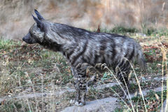 Striped hyena (Hyaena hyaena). Royalty Free Stock Image