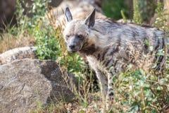 The striped hyena Hyaena hyaena. royalty free stock image