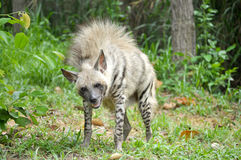Striped hyena Stock Image