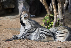 Striped hyena 3 Stock Images