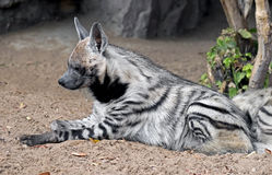 Striped hyena 4 Royalty Free Stock Photos