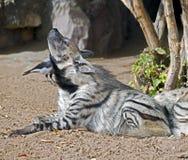 Striped hyena 5 Stock Image