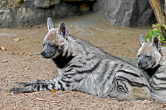 Striped hyena 6 Royalty Free Stock Images