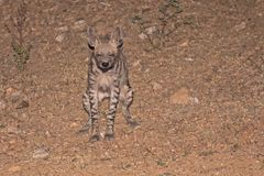 Striped Hyena Peeing. After a heavy meal Royalty Free Stock Photo